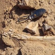 kosti-dinozavrov